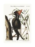 The Largest White-Bill Woodpecker, 1749-73 Impressão giclée por Mark Catesby