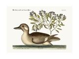 The Little Brown Duck, 1749-73 Impressão giclée por Mark Catesby