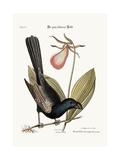 The Razor-Billed Black-Bird of Jamaica, 1749-73 Impressão giclée por Mark Catesby