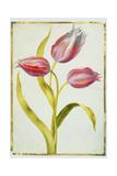 Tulips, C.1675 Giclee Print by Nicolas Robert