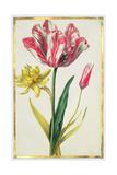 Daffodil and Tulip, C.1675 Giclee Print by Nicolas Robert
