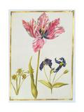 Tulip and Daffodil, C.1675 Giclee Print by Nicolas Robert