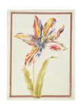 Pd.109-1973.F19 a Multicoloured 'Broken' Tulip Giclee Print by Nicolas Robert