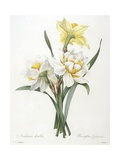 Narcissus Gouani (Double Daffodil), 1827 Giclee Print by Pierre Joseph Redoute
