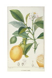 The Lemon Tree, Engraved by Dubois, C.1820 Giclée-vedos tekijänä Pierre Jean Francois Turpin