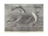 Feeding the Porpoises at the Brighton Aquarium Giclée-tryk af Samuel Read
