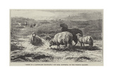 Sheep in a Landscape, Brittany Giclee Print by Rosa Bonheur