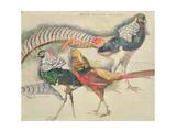 Lady Amherst's Pheasant Gicléetryck av Theo van Rysselberghe