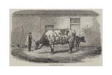 The Australian Ox Tooran Giclee Print by Thomas Harrington Wilson