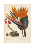 Cobweb Houseleek and Canna Leaved Strelitzia, 1806 Giclée-Druck von Sydenham Teast Edwards