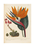 Cobweb Houseleek and Canna Leaved Strelitzia, 1806 Giclee Print by Sydenham Teast Edwards
