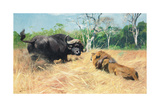 Buffalo and Lion before the Fight Giclée-tryk af Wilhelm Kuhnert