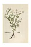 Chamomile - Matricaria Chamomilla (Chamaemelum Leucanthemum) by Leonhart Fuchs from De Historia Sti Giclée-vedos