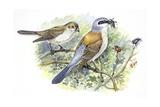 Birds: Passeriformes, Couple of Great Grey Shrike (Lanius Excubitor) Reproduction procédé giclée