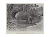 Studies from Life at the Zoological Gardens, the Capibara, or Carpincho, of South America Giclée-tryk