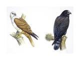 Birds: Falconiformes, Brahminy Kite (Haliastur Indus) and Zone-Tailed Hawk (Buteo Albonotatus) Reproduction procédé giclée