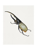 Hercules Beetle (Dynastes Hercules), Scarabaeidae. Artwork by Brin Edward Giclee Print