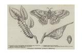 Canadian Silkworm (Attacus Cecropia) Giclee Print