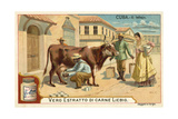 Milking, Cuba Lámina giclée
