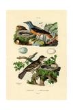 Roufus-Tailed Rock-Thrush, 1833-39 Lámina giclée