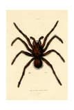 Tarantula, 1833-39 Giclée-tryk