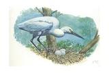 Great Egret Casmerodius Albus or Ardea Alba at Nest with Eggs Lámina giclée
