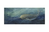 Zoology: Fishes: Mammalia, Cetacea, Narwhal (Monodon Monoceros) Giclée-Druck