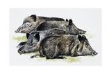Sleeping Wild Boars or Wild Pigs (Sus Scrofa), Suidae, Drawing Giclee-trykk