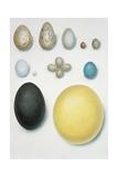 Close-Up of Bird's Eggs Lámina giclée