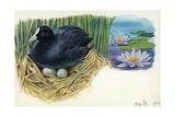Eurasian Coot Fulica Atra Warming Eggs in the Nest Lámina giclée