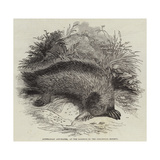 Australian Ant-Eater, at the Gardens of the Zoological Society Giclée-Druck