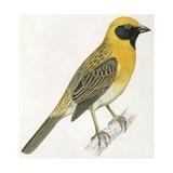 Birds: Passeriformes, Baya Weaver (Ploceus Philippinus) Reproduction procédé giclée