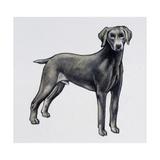 Weimaraner (Canis Lupus), Canidae, Drawing Gicléedruk