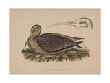 Numenius Tahitiensis (Gmelin), 1855 Reproduction procédé giclée