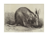 The Cape Ant-Eater at the Zoological Society's Gardens, Regent's Park Lámina giclée