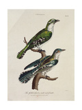 Gilded Cuckoo, Male and Female (Cuculus) Reproduction procédé giclée