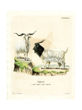 Cashmere Goat Giclée-tryk