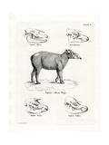 Tapir Skulls Lámina giclée