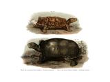 Tortoise Giclee Print