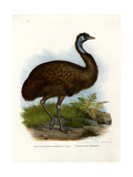 Emu, 1864 Reproduction procédé giclée