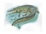Nile Crocodile Crocodylus Niloticus Catching Fish Giclée-tryk