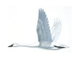 Birds: Anseriformes, Trumpeter Swan, (Cygnus Buccinator) Giclee Print