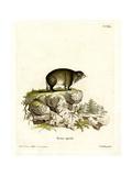 Cape Hyrax Lámina giclée