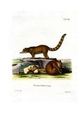 Coati Lámina giclée