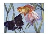 Goldfishes (Carassius Auratus), Cyprinidae Reproduction procédé giclée