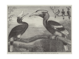 The Hornbills, in the Garden of the Zoological Society, Regent's Park Reproduction procédé giclée