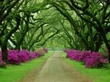En vakker sti med trær og lilla asaleaer Metalltrykk av Sam Abell