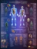 Human Anatomy Interactive Wall Chart Plakat