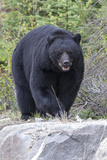 A Large Black Bear, Ursus Americanus, Moves Quickly over the Rocks Fotografie-Druck von Barrett Hedges