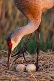 Close Up of a Sandhill Crane Tending to its Eggs Reproduction photographique par Michael Forsberg